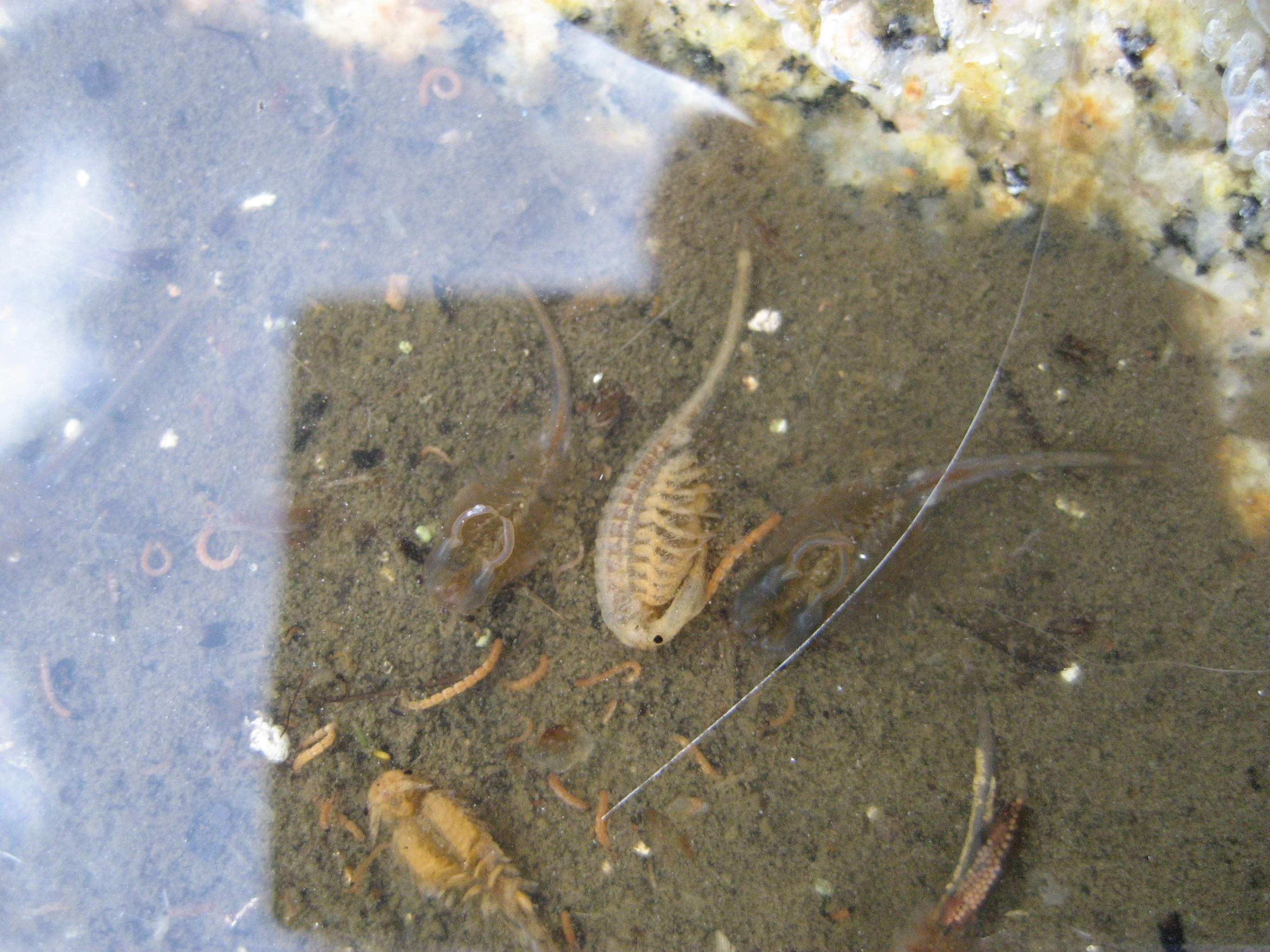 Alberto's shrimp